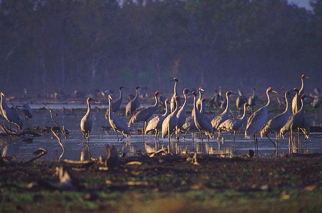 jabiru-wildlife