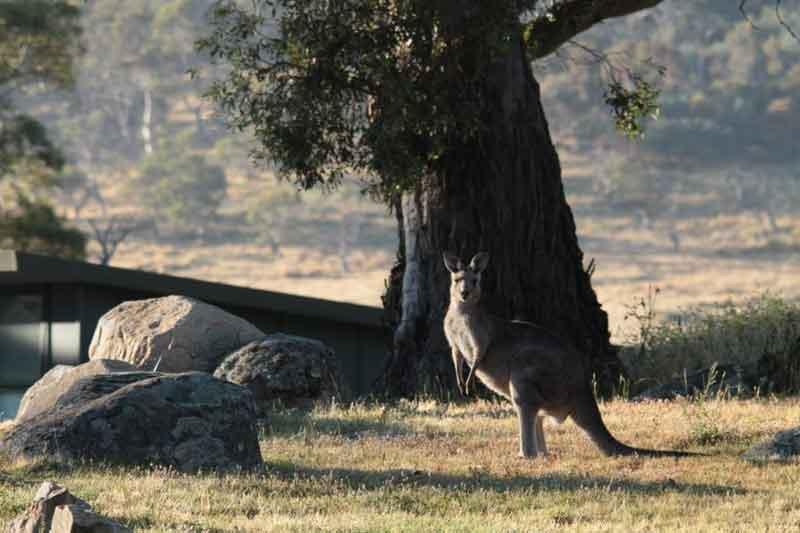 ecocrackenback-kangaroo