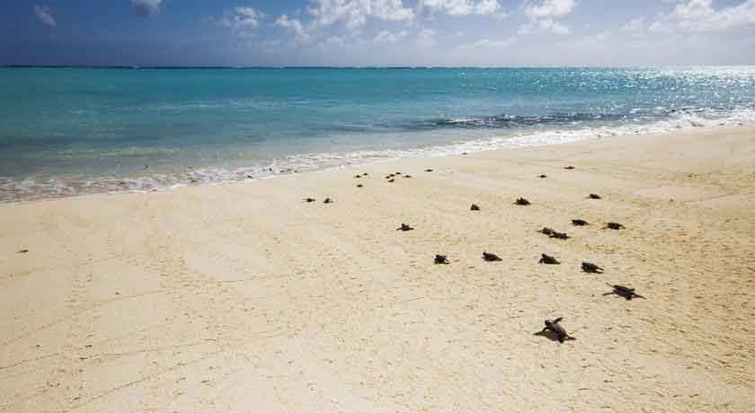 heron-island-turtles