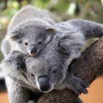 roar and snore-koala