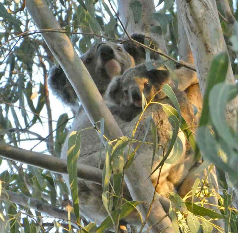 Uralba Eco Cottages koalas