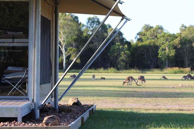 Nearby Kangaroos