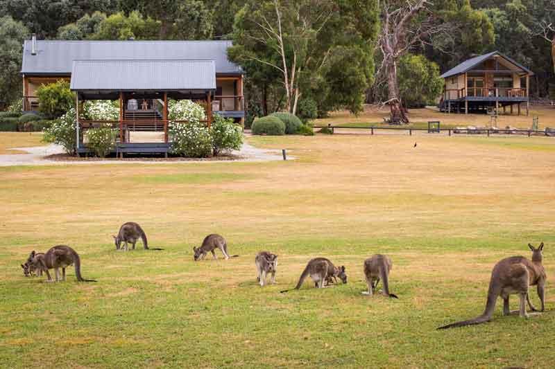 Yering Gorge Cottages kangaroos