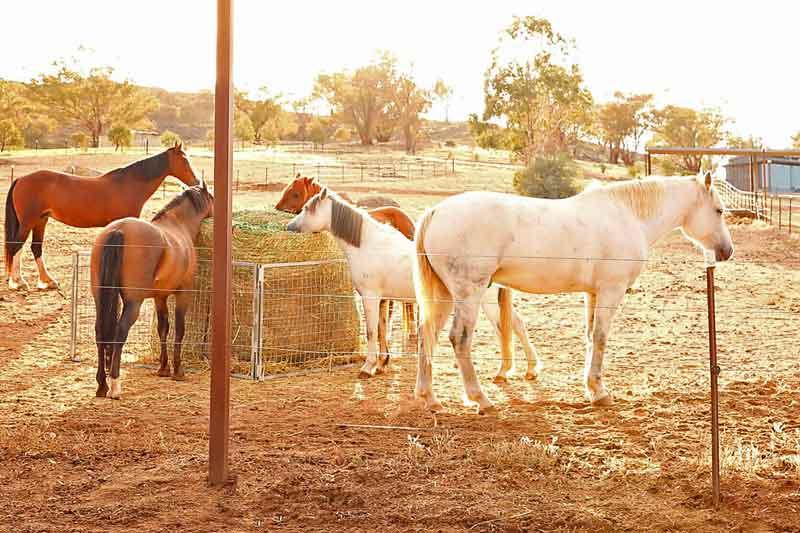 Belisi Horses
